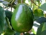Piante esotiche vendita idee per il design della casa for Vendita piante da frutto tropicali