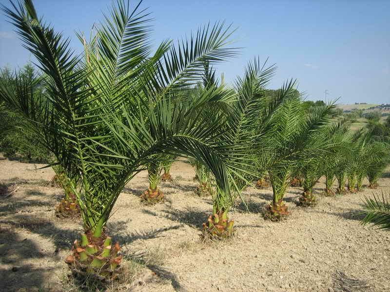 Piante ornamentali da giardino vivai piante gabbianelli - Tipi di palme da giardino ...